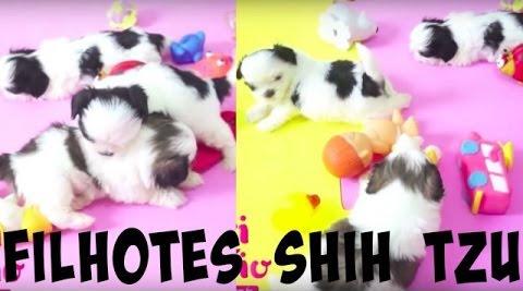 meus-filhotes-shih-tzu-lui-e-marley-brincando-e-suri-dormindo-dogsdaloi