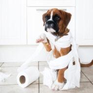Coprofagia Em Cães: Meu Cachorro Come Cocô