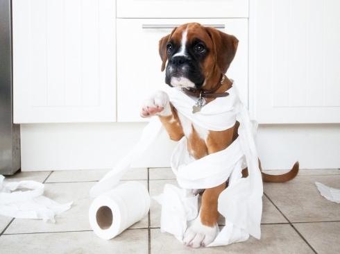 Coprofagia Em Caes Meu Cachorro Come Coco - Loi Curcio -3