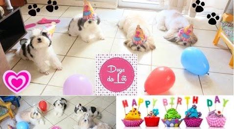 comemorando-o-aniversario-das-meninas-shih-tzu-dogsdaloi-015