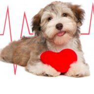 Verme Do Coração (Dirofilariose /Filariose) Em Cachorros/Cães/Gatos: O Que é? Sintomas? Tratamento? Prevenção?
