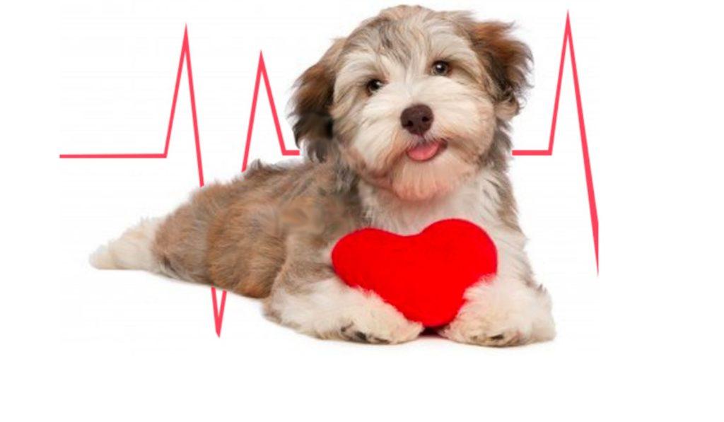 verme-do-coracao-dirofilariose-filariose-em-cachorroscaesgatos-o-que-e-sintomas-tratamento-prevencao